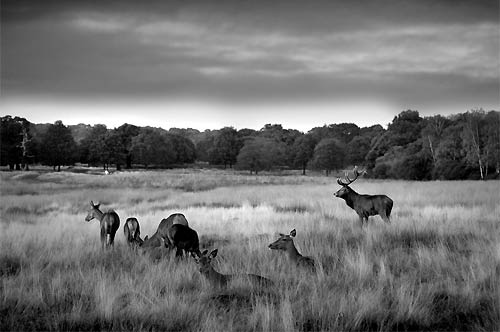 A herd of deer in Richmond Park