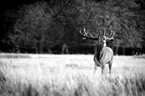 Stag bellowing in Richmond Park