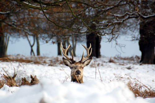Red deer stag in the snow Richmond Park